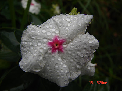 small white flower with water droplets macro photo taken with Sony DSC-H1 camera