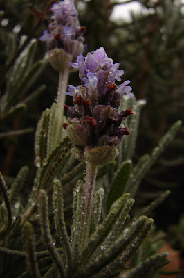 lavender flower with water droplets