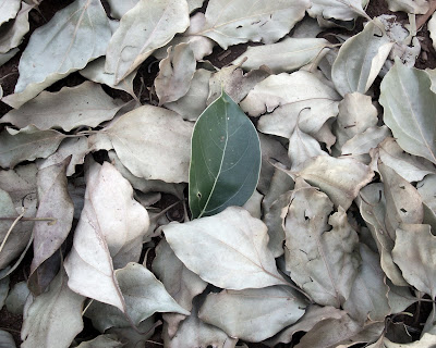 single green camphor-laurel tree leaf amongst many other brown, dead Cinnamomum camphora leaves
