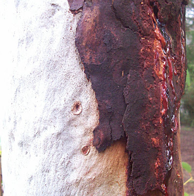 Tree blood or sap flowing pouring weeping from a eucalyptus tree. Which is a gum tree from Australia and has two contrasting sections - one of the white tree trunk and one of the brown bark with the red sap flowing from it