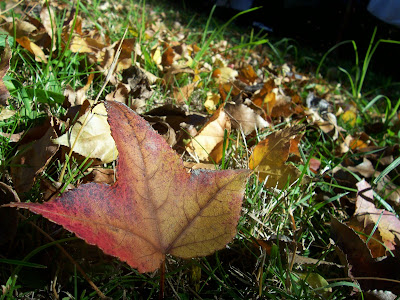 the autumn spirit - a single maple tree leaf with lot's of other maple tree leaves on the grass in the background. Autumn leaves falling in the fall.