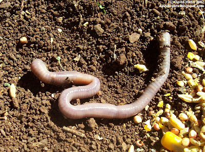 the earth worm - the creature from below - an earthworm on dirt with various grains: corn, sorghum, etc.