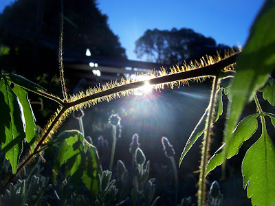 the glory of the morning - sun shining over the stem of a balloon vine plant. Sun rays breaking shining