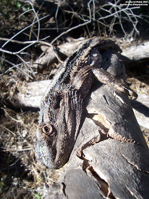 lazy bearded dragon lizard lying in the sun on a gum tree log (eucalyptus)