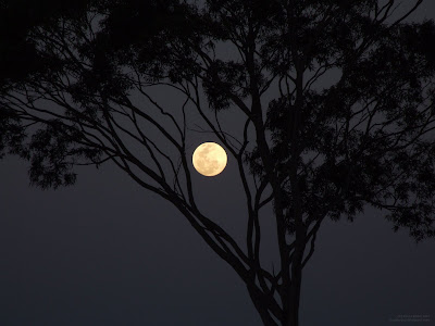 nearly full moon silhouette shining through tree branches - moon outlined by tree