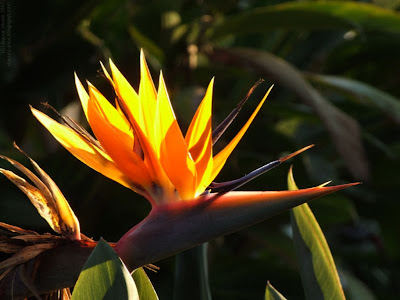 bird of paradise flower with sunlight shining through it's petals or leaves