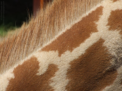 macro giraffe neck hairs - close up of a giraffe's 'mane' with sharply defined hairs
