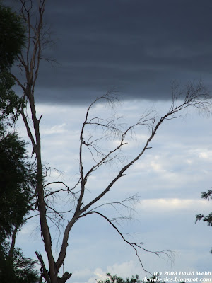 Storm clouds looming behind a gum tree