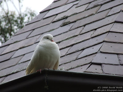 Dove on tiled roof - ANZAC Day