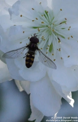 australian native bee landing on a white peach blossom in spring