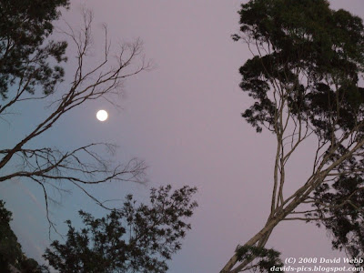 Tilted image of Two Gum Trees and the Moon at Twilight