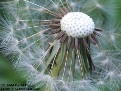 dandelion flower, dandelion 'clock' close up picture