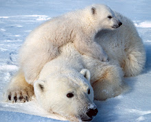 Polar Bear - here today, here tomorrow???