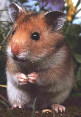 hamsters mordem