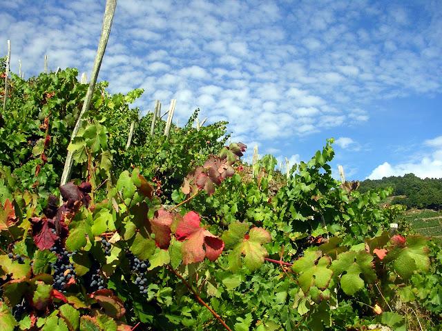 vinya ribera sacra