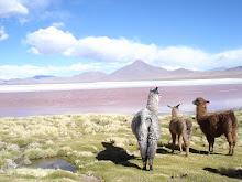 alpacas observan laguna colorada