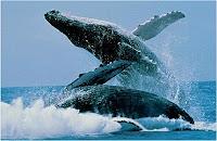 Japón suspende la caza de ballenas jorobadas