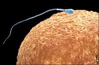 Creado esperma humano a partir de células embrionarias femeninas