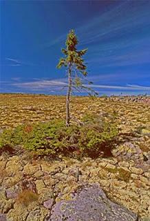 El árbol más viejo del mundo
