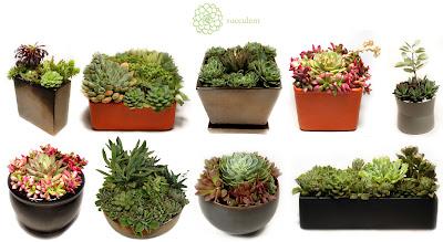Succulentla