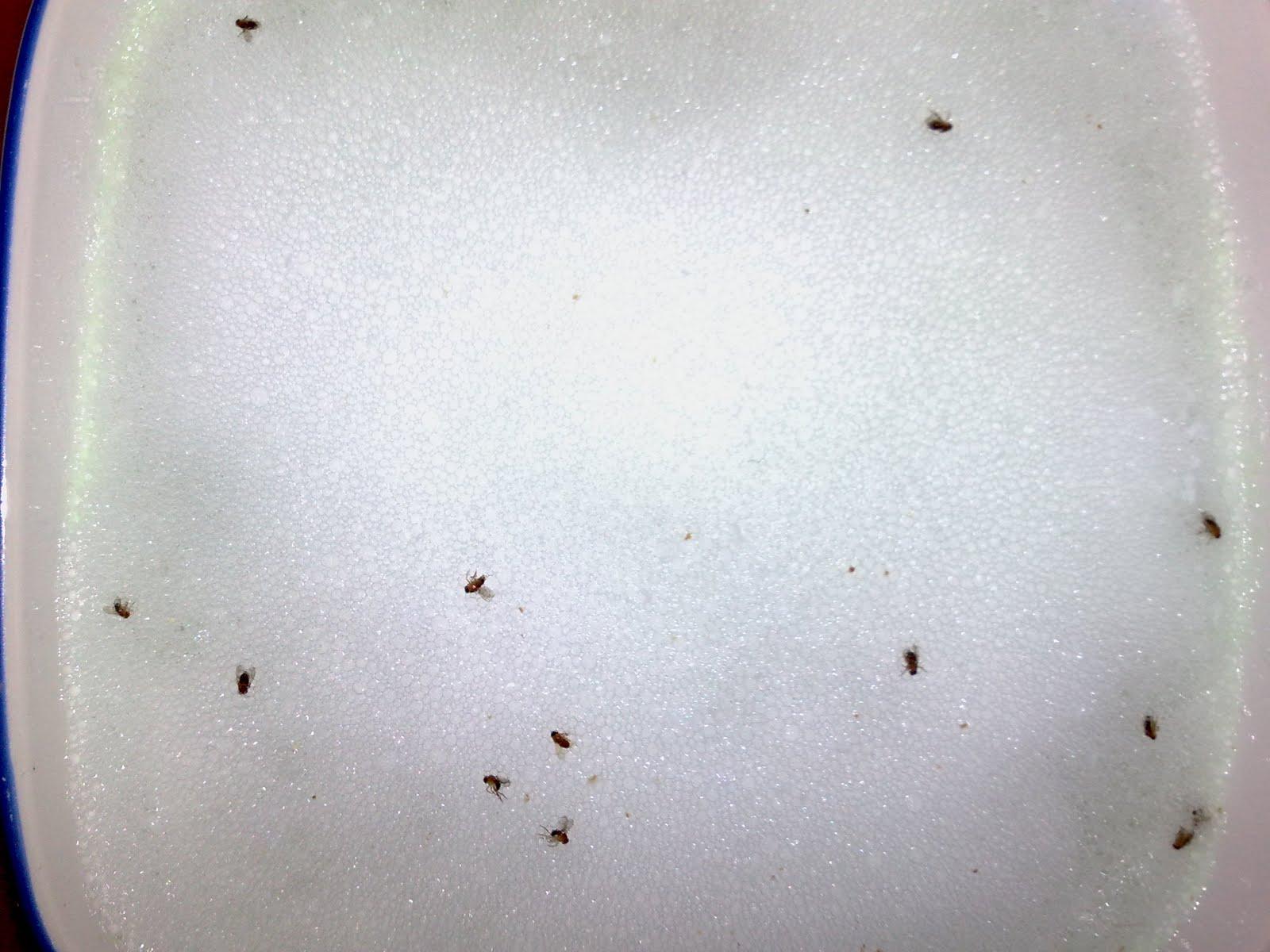 Gnats in bathroom sink drain carpenter bees nest