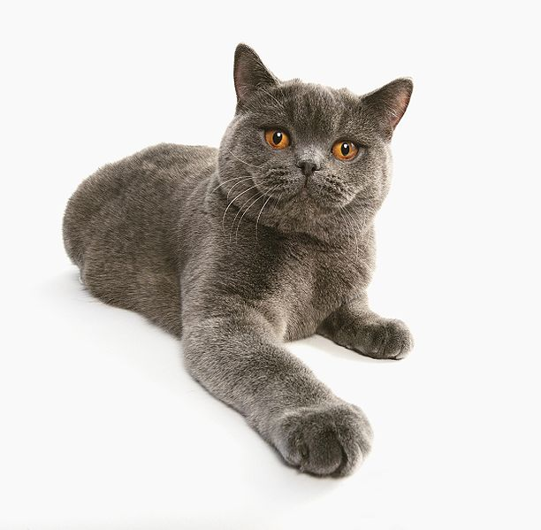 Cats and Kittens: British Shorthair