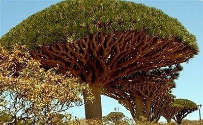 dragon blood tree-yemen-afp photo