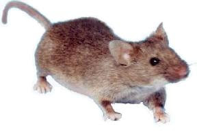 image of mousey the mouse