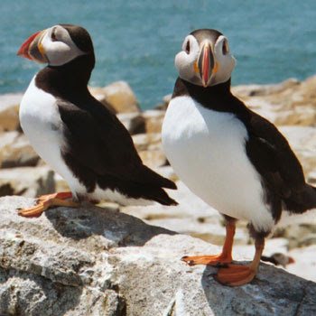 photo of puffins via visitmaine dot com