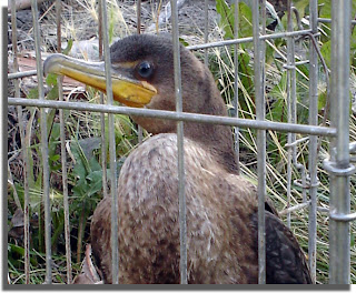 Cormorant Caged