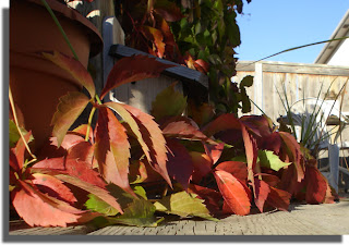 Virginia Creeper turning red