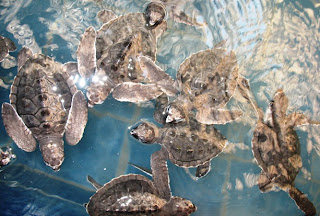 Baby turtles at Phuket marine biological centre