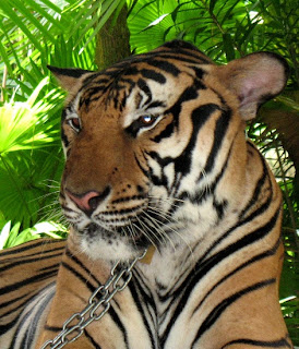 Tiger at Phuket Zoo