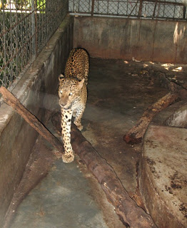 Not a happy leopard at all