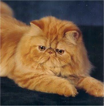http://1.bp.blogspot.com/_Ber2QzIQMms/SfPpTIAXsoI/AAAAAAAAA2k/7SmdCCM4Ii4/s400/Persian+Cat.jpg