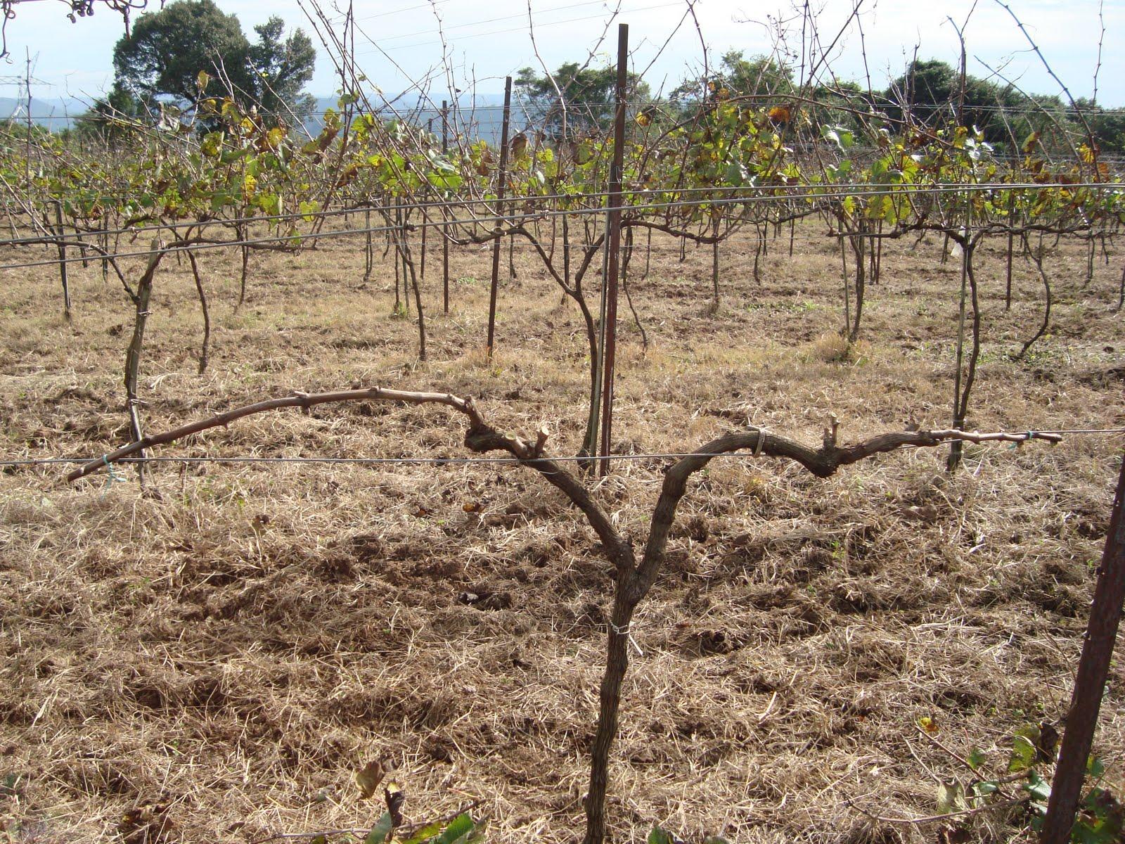 My vineyards influ ncia da poca de poda sobre a poca de brota o na cv chardonnay - Poda de hortensias epoca ...