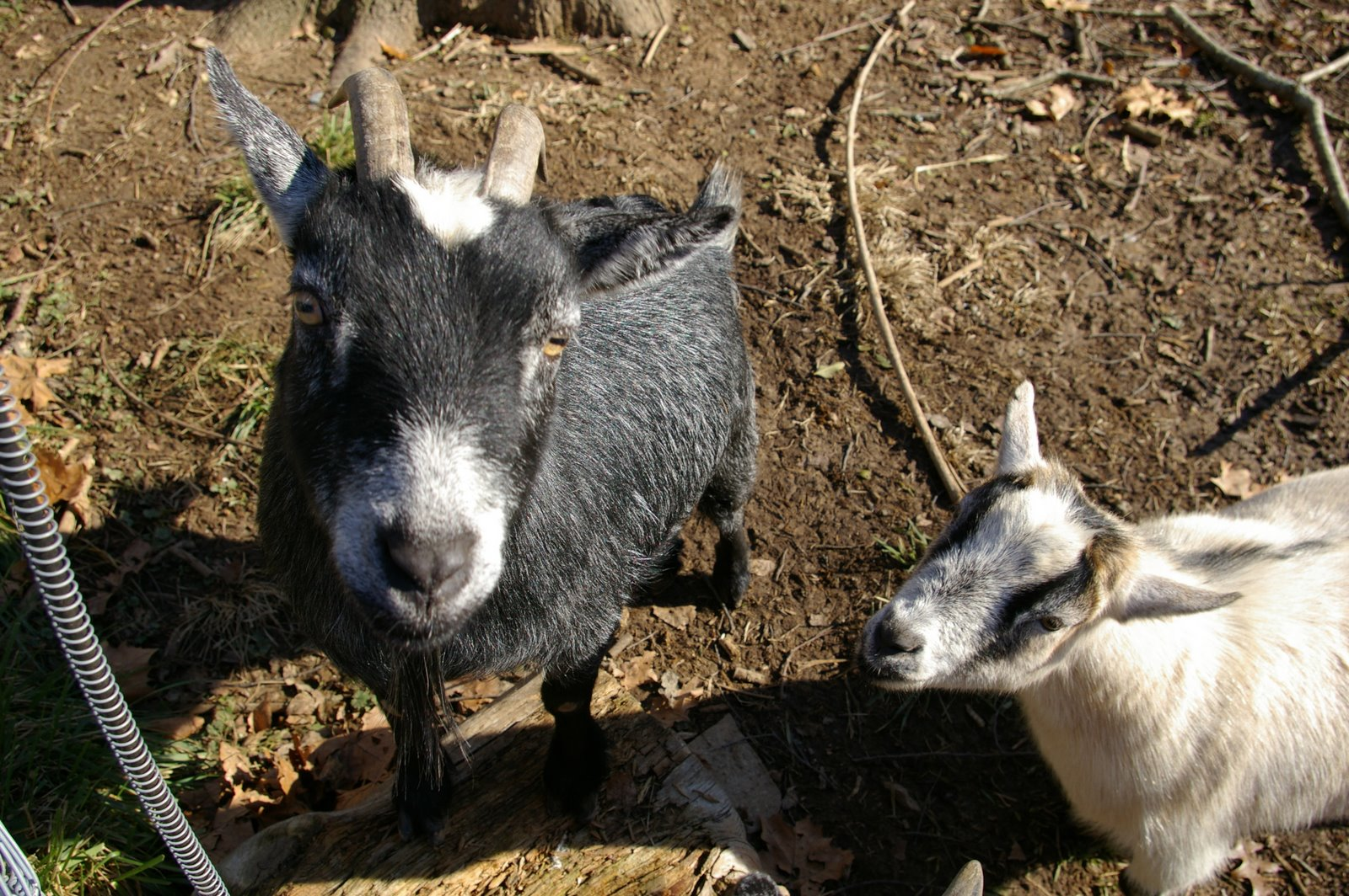 funny looking goat - photo #21