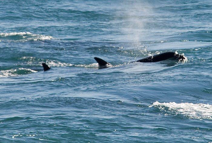 orcas - killer whales in Valdes Peninsula Patagonia Argentina