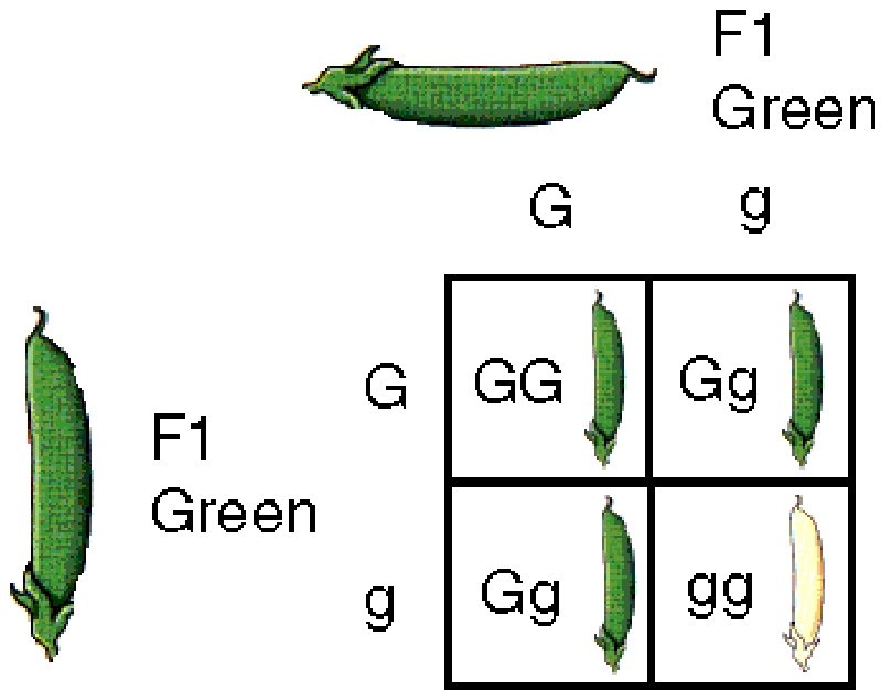 Homeschooler's Resources: Gregor Mendel's Punnet Squares
