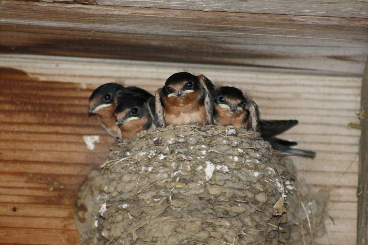 Maximizealot: Barn Swallow Babies
