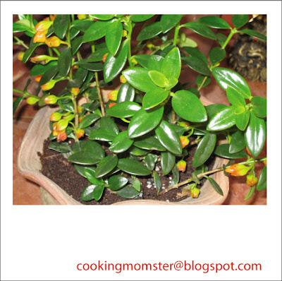 columnea goldfish plant. 2011 goldfish plant pictures.