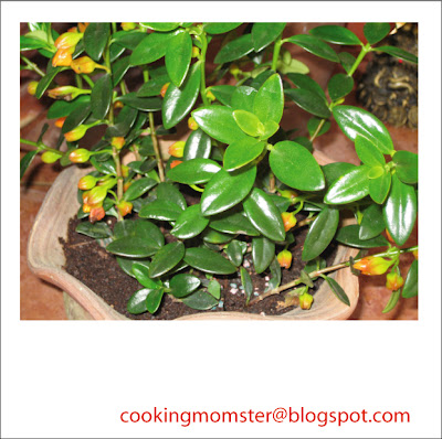 columnea goldfish plant. Dancing Gold Fish Plant,