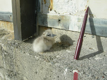 White Tern (Gygis alba) newly hatched chick.