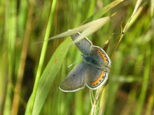 Lupine Blue (Plebejus lupinus)