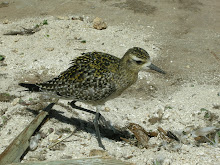 Pacific Golden-Plover, Kolea