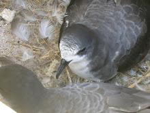 Bonin Petrel(Pterodroma hypoleuca)