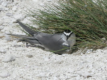 Gray-backed Tern (Sterna Lunata)