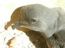 Tristram's Storm-Petrel (Oceanodroma tristrami)