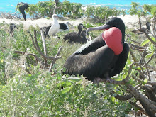 Great Frigatebird (Fregata minor), male, gular pouch display