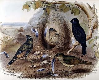 John Gould Double Page Bird Print